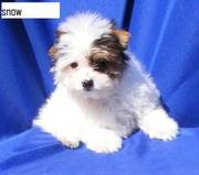White gorgeous Yorki for sale asap