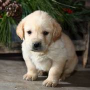 Yellow Lab puppies for sale in a happen family