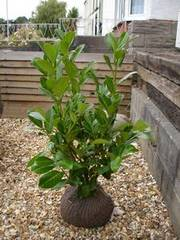 60 x Laurel hedging plants root-balled ~3ft tall very bushy