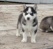 exercise Siberian husky puppies for sale