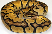 Kritle-Pastel Jungles python for sale.